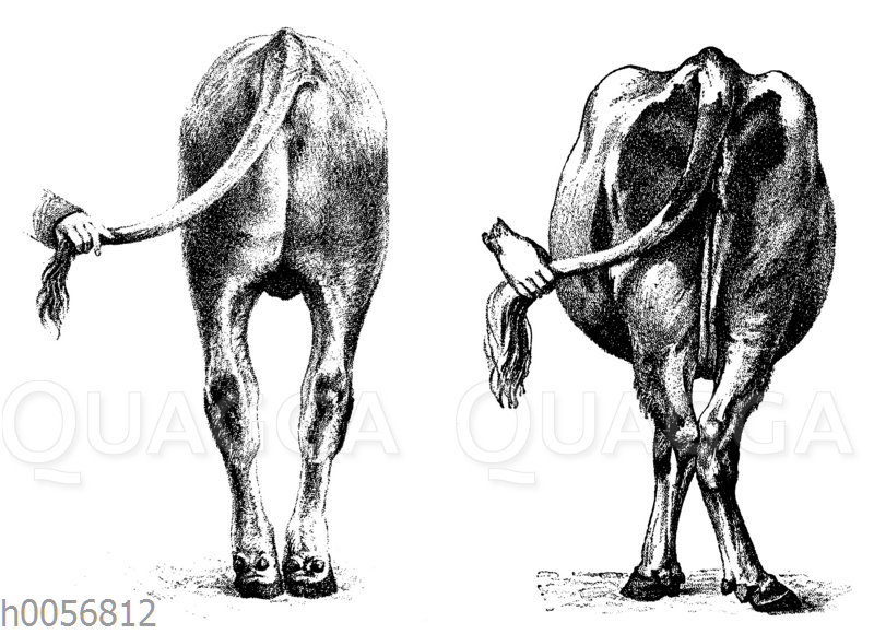 Rind mit O-Beinen (links)