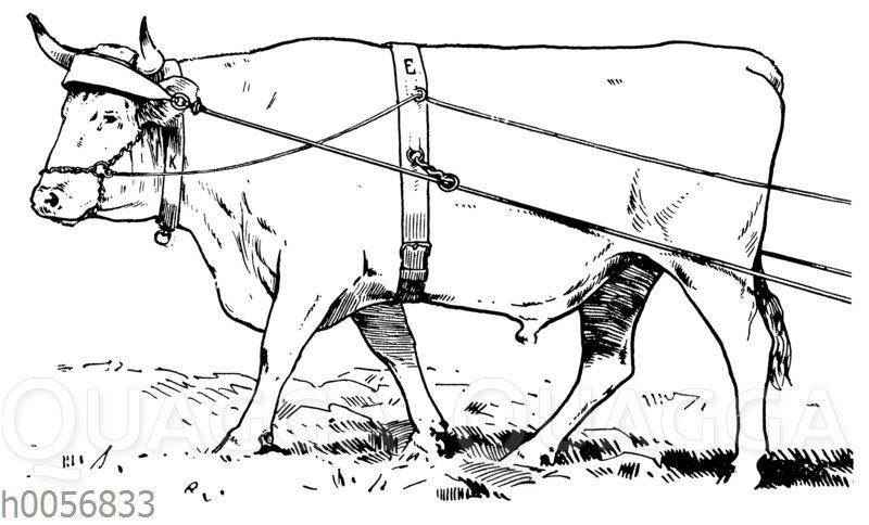 Angespanntes Rind mit Stirnjoch