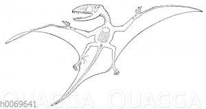 Dimorphodon macronyx - Flugechse der Jurazeit