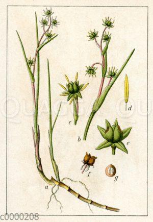 Scheuchzeriaceae - Blumenbinsengewächse