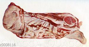 Fleisch: Kalbsbrust