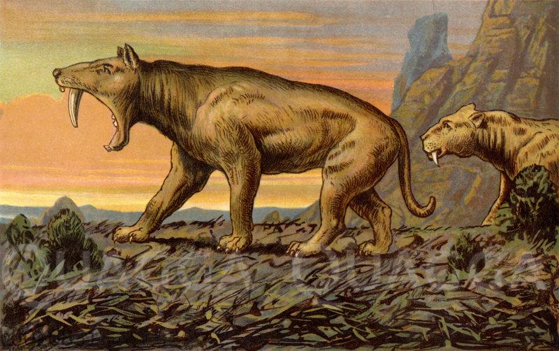 Säbellöwe (Machairodus Neogaeus)
