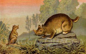 Naseichhornkamnchen (Epigaulus Hatcheri)