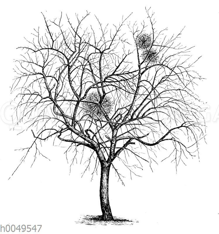 Apfelbaum vor dem Ausputzen