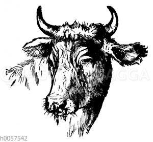 Kopf eines Rindes mit Rinderpest