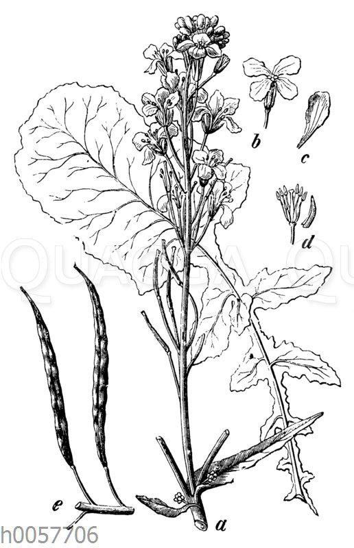 Gemüse-Kohl