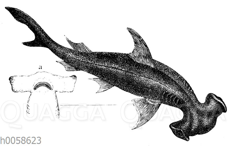 Glatter Hammerhai