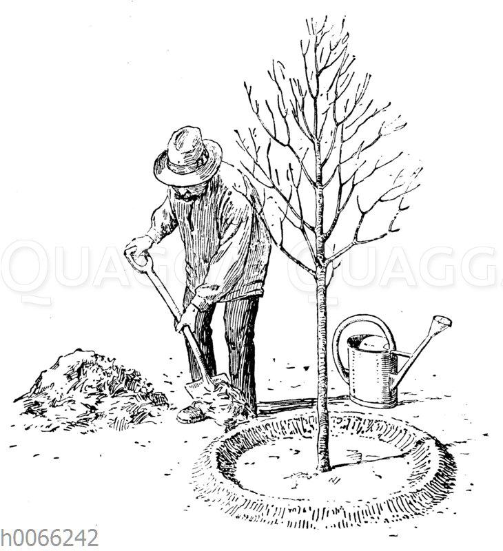 Baumscheibe mit erhöhtem Rand um den frisch eingepflanzten Obstbaum