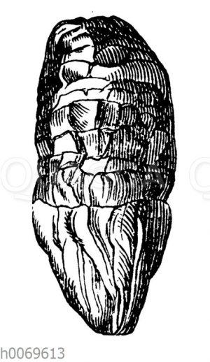 Koprolith (versteinerter Kotballen) des Ichthyosaurus