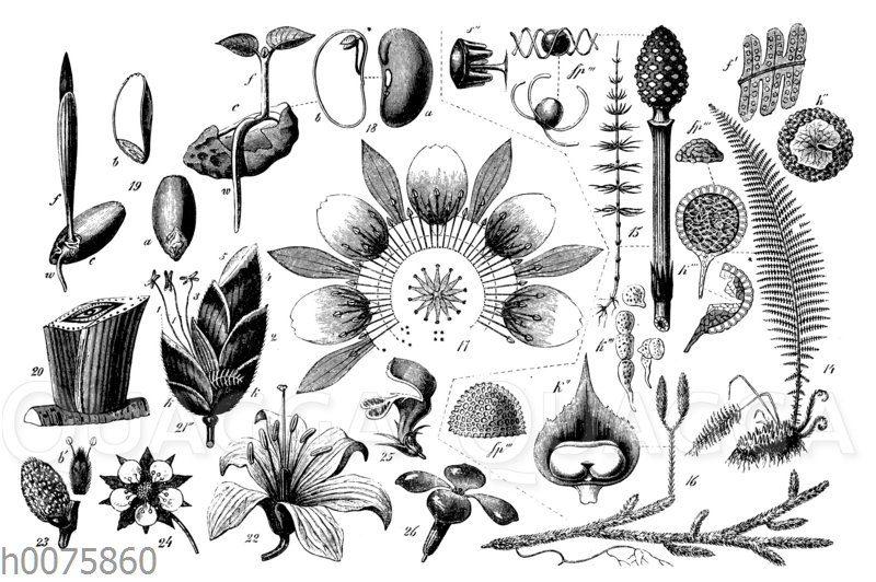 Charakter der Samen- oder Blütenpflanzen und ihre Hauptgruppen