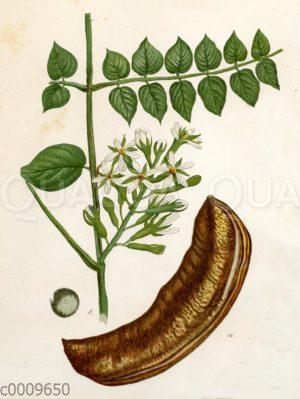 Kanadischer Schusserbaum