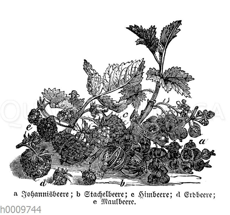 Beerenfüchte
