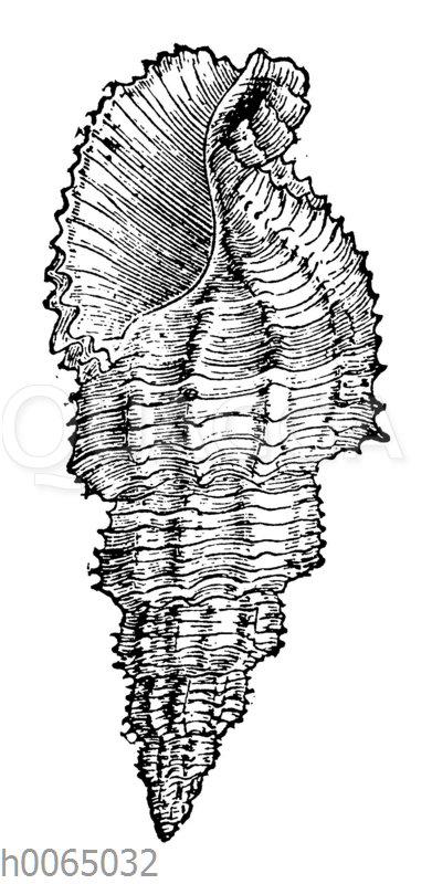 Buccinum senticosum
