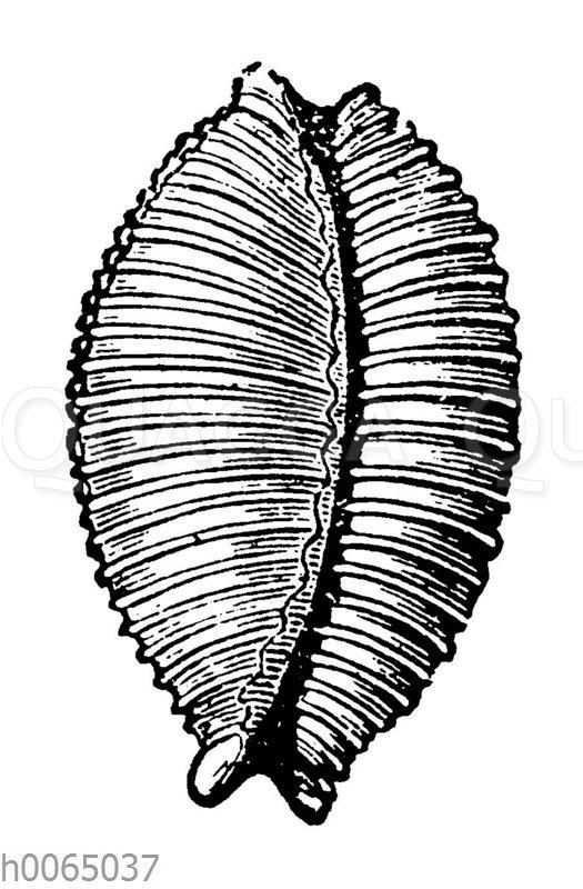 Cypraea nucleus