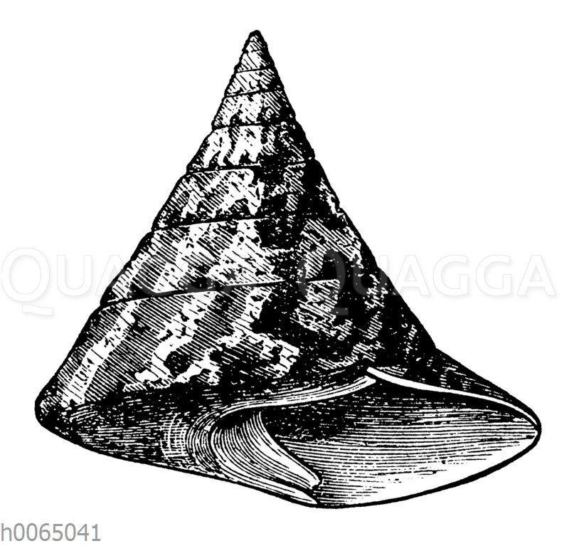 Trochus Niloticus