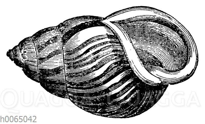 Bulimus sultanus