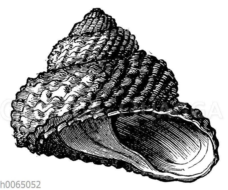 Trochus Cookii