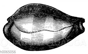 Cypraea onyx
