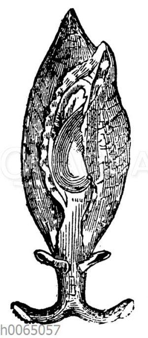 Aplysia inca