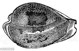 Cypraea subviridis
