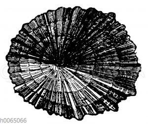 Patella caerulia