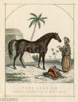 Araber-Pferd