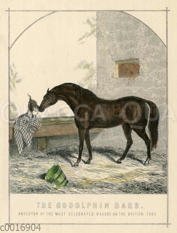 Godolphin Arabian oder Godolphin Barb