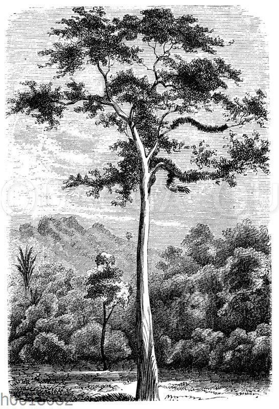 Upasbaum