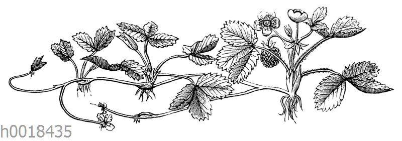 Erdbeerpflanze mit Ausläufern