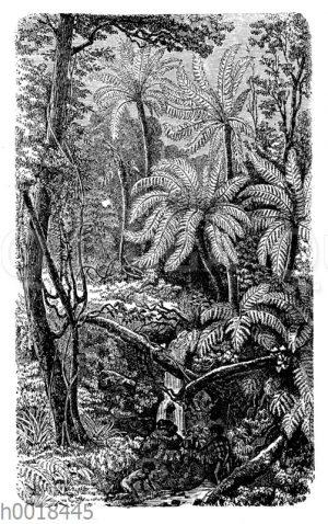 Australischer Urwald