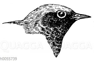 Rotschwanz: Kopf