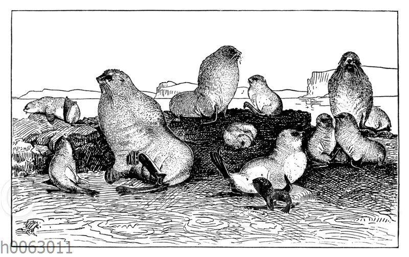 Robben verschiedener Altersstufen