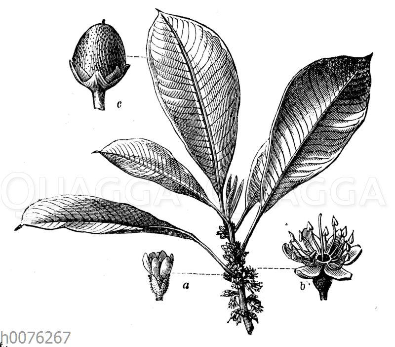 Guttaperchabaum