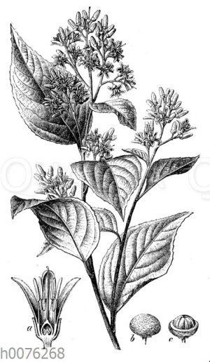 Sumatra-Benzoe