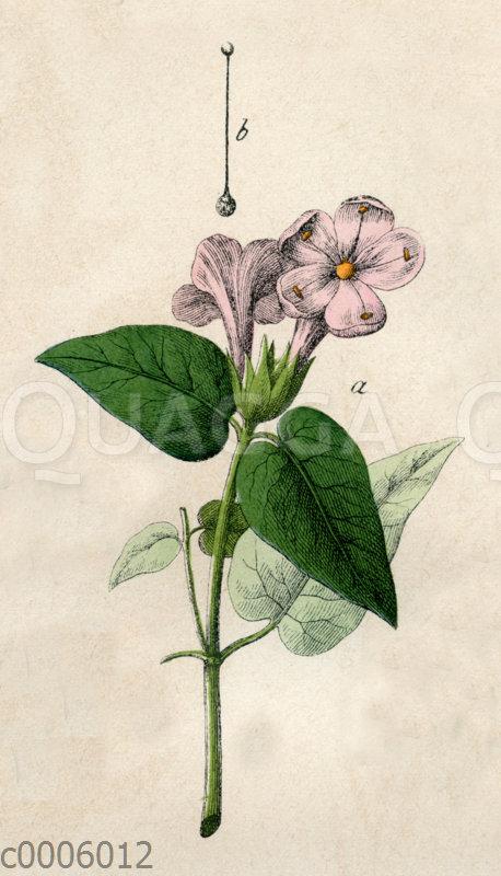 Gemeine Wunderblume