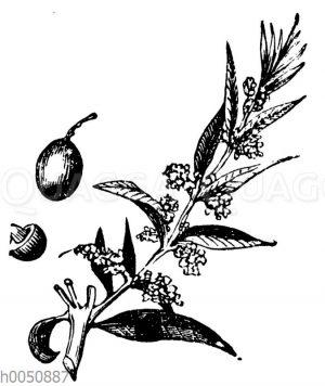 Olivenzweig mit Frucht