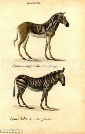 Quagga und Zebra