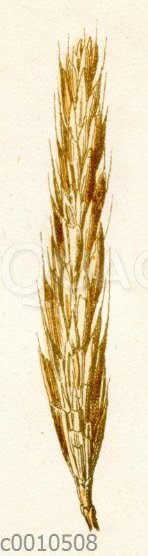 Polnischer Weizen