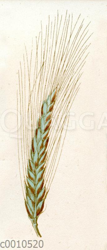 Lange bläuliche Gerste