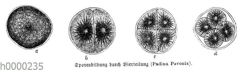 Sporenbildung durch Vierteilung