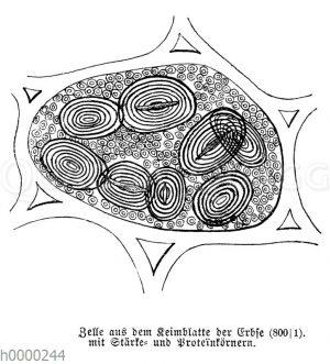 Erbse: Keimblattzelle: Zelle aus dem Keimblatt der Erbse