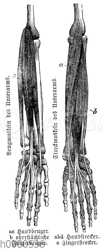 Mensch: Muskeln des Unterarms