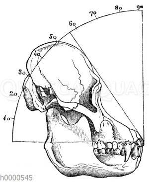 Orang-Utan: Schädel eines erwachsenen Tieres mit eingezeichnetem Gesichtswinkel