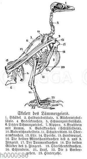 Lämmergeier: Skelett