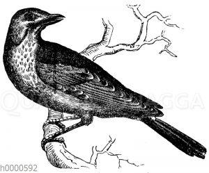 Krammetsvogel