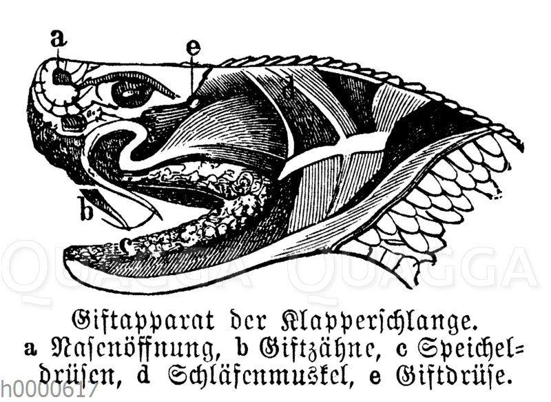 Klapperschlange: Kopf mit Giftapparat