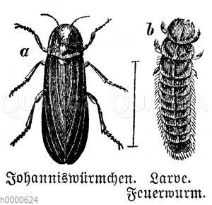 Johanniswürmchen