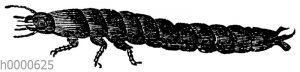 Laufkäferlarve