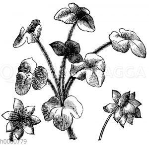 Dreilappige Leberblume