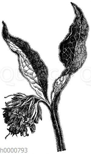 Beinwurz